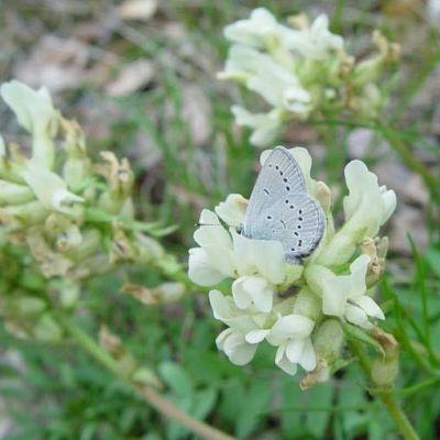 Sinisiipi-perhonen kukassa.