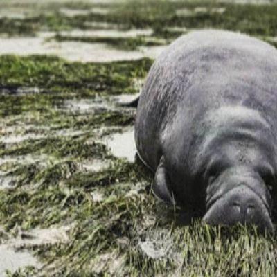 Kuvassa manaatti, joka joutui kuivalle maalle, kun vesi vetäytyi hurrikaani Irman seurauksena.