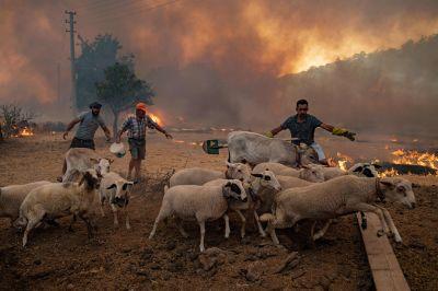 Personer samlar ihop sina får för att få bort dem från branden.