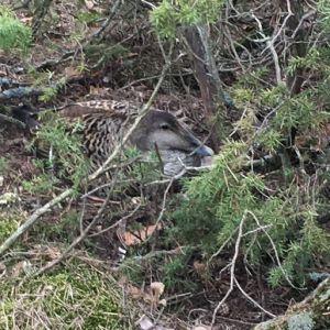 Håkan hittade det här ejderboet rövat. Vem kan ha gjort det här?