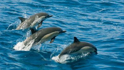 Tre delfiner hoppar i luften i havet.