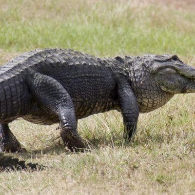 Alligaattori lähellä Kennedyn avaruuskeskusta Cape Canaveralissa, Floridassa USA:ssa.