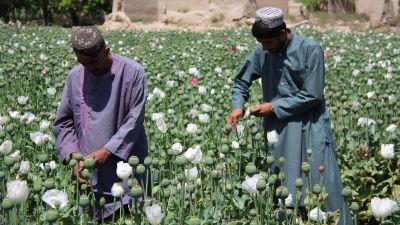 Två jordbrukare som utvinner opium från vallmoknoppar på ett fält av vallmo.