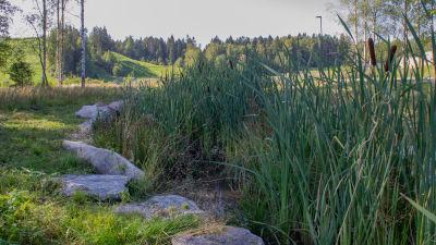 Ett dike med stenar runt kanterna och det växer mycket kaveldun i diket.