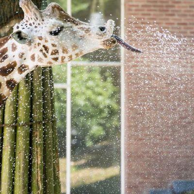 Kirahvi saa kylmän suihkun Ouwehandsin eläintarhassa 30. kesäkuuta, Hollannissa.