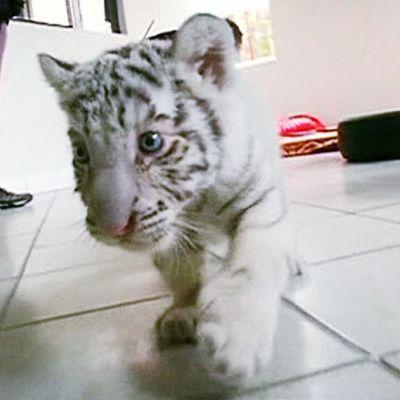 Valkoinen tiikerinpentu.