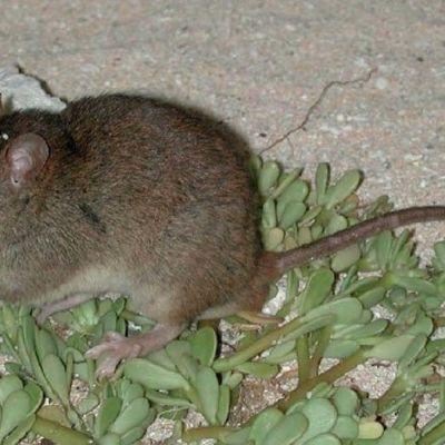 sukupuuttoon kuollut hiiri