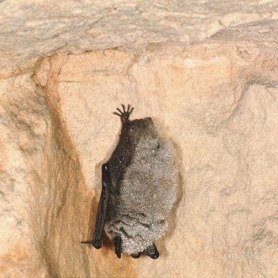 En taigafladdermus hänger från taket i en grotta