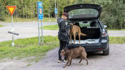 En kvinna släpper ut två stora bruna hundar genom bakluckan på en gammal svart bil.