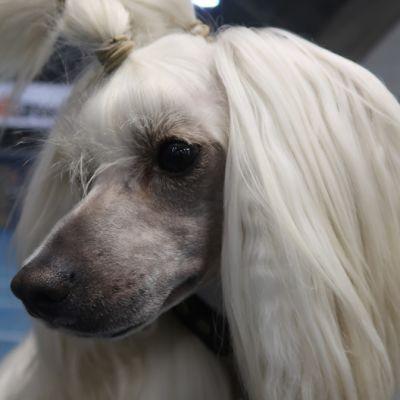 kiinanharjakoira Doktor koiranäyttelyssä Tampereella