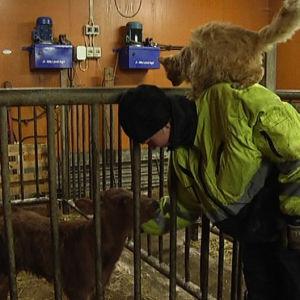 Crista Häffors hälsar på en vecka gammal kalv medan en stallkatt vill vara med.