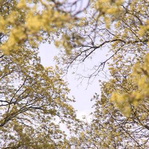 keväiset puut