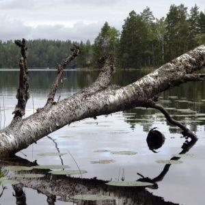 Koivunrunko järvessä.