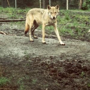 Varg som promenerar i skogen.