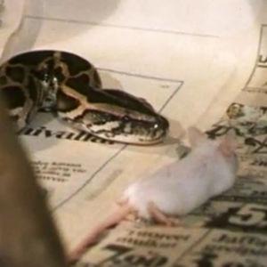 Kungsboa äter en levande mus, 1984