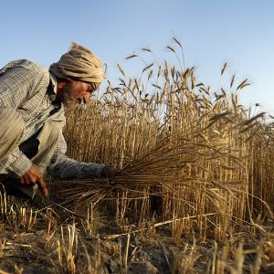 Indisk jordbrukarei Amritsar  i norra Indien maj 2011.