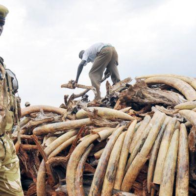 Elfenben i Kenya som ska brännas upp.