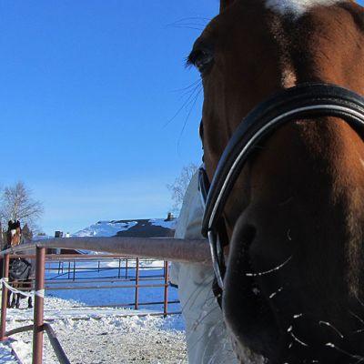 Hevonen ihmettelee kameraa.