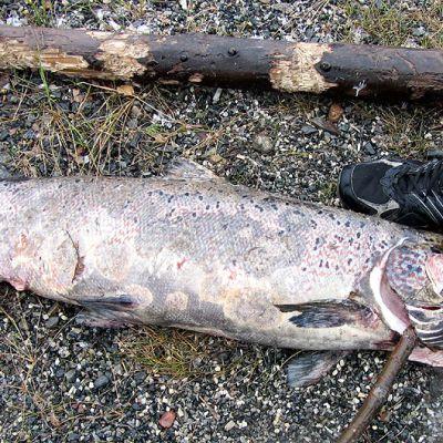 Kuollut lohi rannalla, laikullinen iho johtuu vesihometartunnasta.