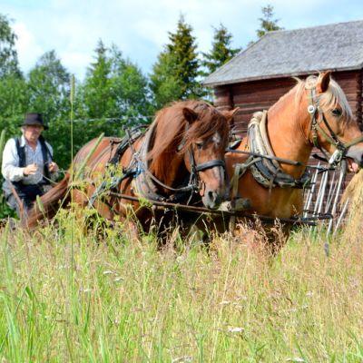 Esa Helaakoski ajaa niittokonetta hevosilla