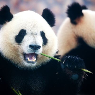 Jättiläispanda syö bambua
