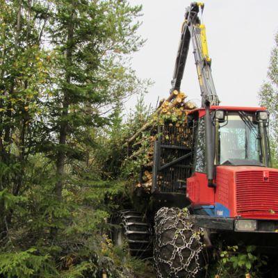 Puuta korjataan metsästä.