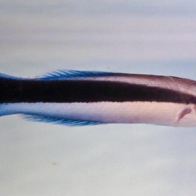 Kapearuumiinen kala, jolla on siniset evät ja pyrstö sekä musta raita kyljessä.