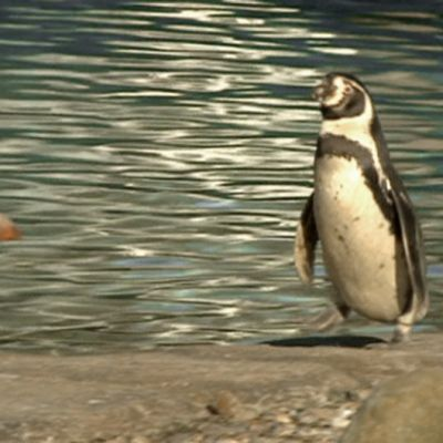 Perunpingviini Lontoon eläintarhassa.
