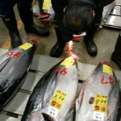 Ostajat tutkimassa myytävinä olevia tonnikaloja huutokaupassa.