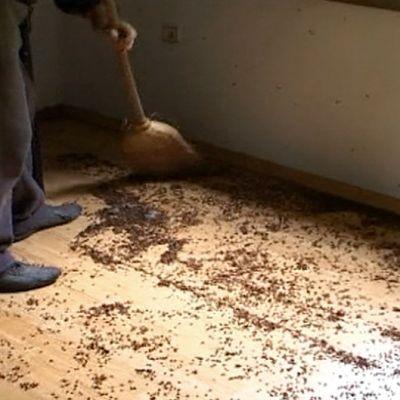 Henkilö lakaisemassa leppäkerttuja lattialta.