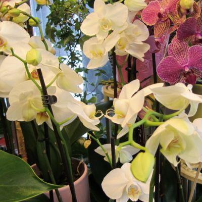 Orkideoita kukkakaupassa