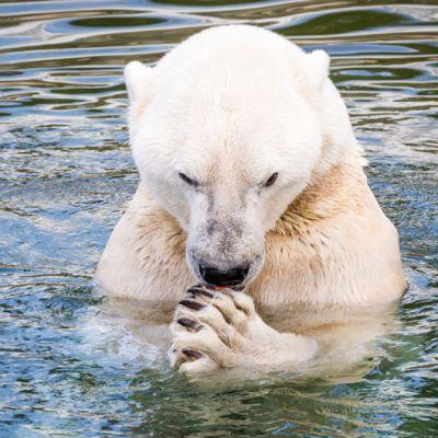 Jääkarhu Ranuan eläinpuistossa