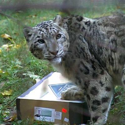Lumileopardi ja lihaa sisältävä pahvilaatikko Korkeasaaren eläintarhassa.