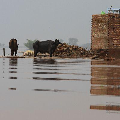 Paikallisten asukkaiden kotieläimiä tulvan saartamina.