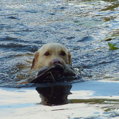 Labradorinnoutaja Aada ui lintu hampaissaan.