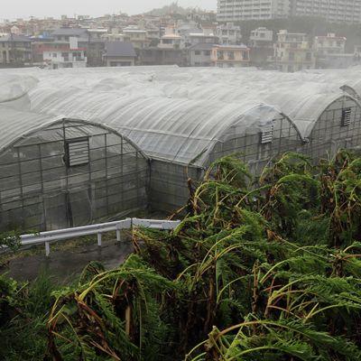 Taifuuni reipii mangokasvihuoneita ja palmuja Okinawassa 8. heinäkuuta 2014.