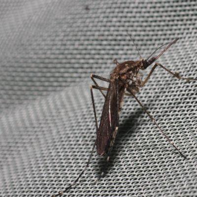 Hyttynen kankaalla.