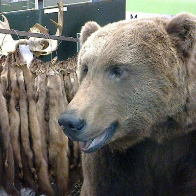 Täytetty karhu ja turkiksia Riihimäen Erämessuilla