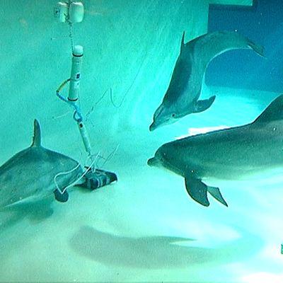 Delfiineitä tutustumassa tutkimuslaitetta