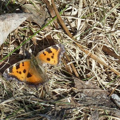 Isonokkosperhonen keväisessä ruohikossa - on hämmästyttänyt tänä keväänä perhosharrastajat runsaudellaan