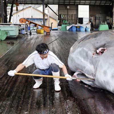 Japanilaiset kalastajat paloittelevat hanhennokkavalasta Wadan satamassa.