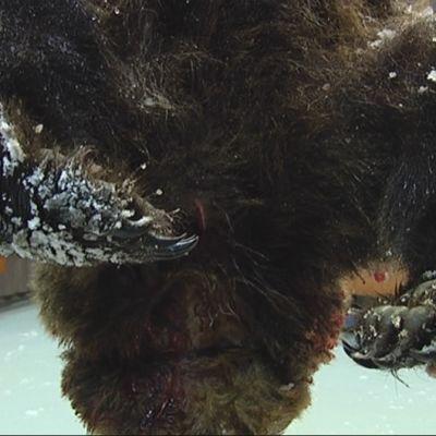 Ammuttu karhu Orivedellä.