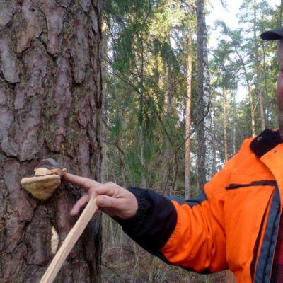 Markku Huostila lahoavan puun vierellä