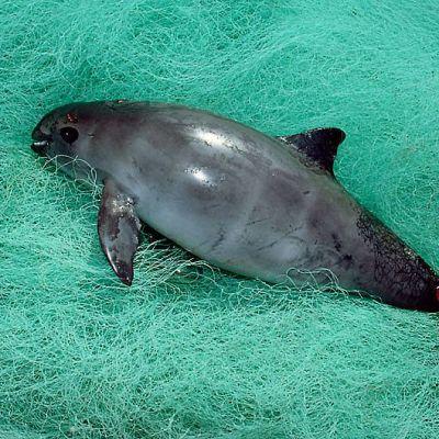 Vaquita-pyöriäinen (Phocoena sinus) kalaverkkoon jääneenä Baja Californian alueella Meksikossa.