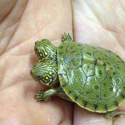 Kaksipäistä Thelma ja Louiseksi nimettyä kilpikonnaa esitellään San Antonion eläintarhassa.