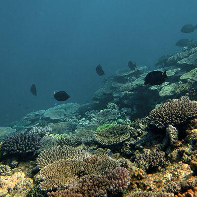 Mustia kaloja ui Ison Valliriutan korallien päällä.