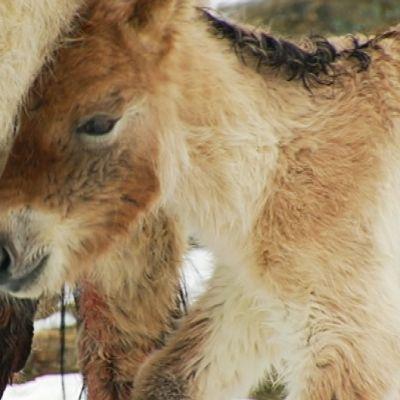 Mongolianvillihevosen varsa Korkeasaaren eläintarhassa 3. helmikuuta.
