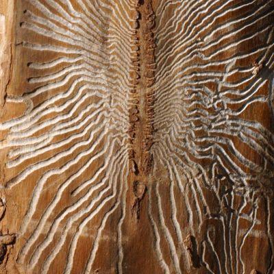 Kaarnakuoriaisen syömä kuvio puun pinnassa.