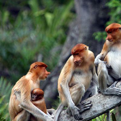 Nenäapinoita Borneon saarella Malesiassa.