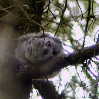Liito-orava kansallispuistossa.